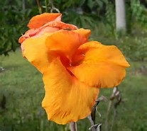 Heirloom Lush Orange Canna