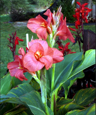Heirloom Lush Pink Canna
