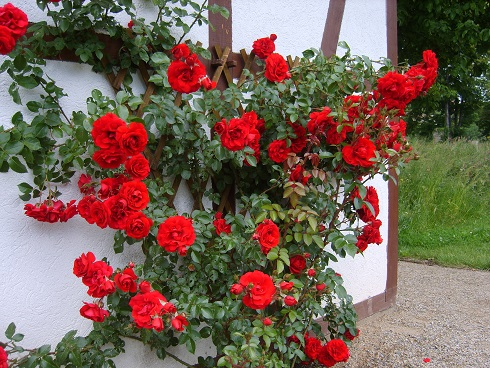 Heirloom Climbing Rose - Red